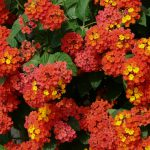 When To Transplant Lantana To Ensure Survival