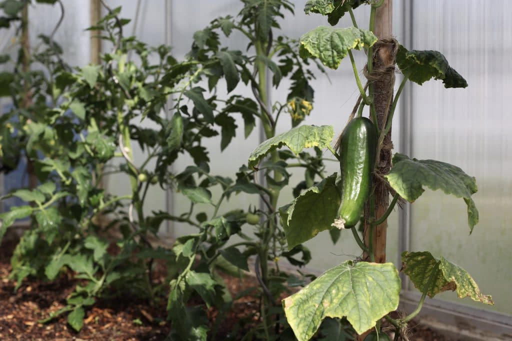 How to Grow Cucumbers in the Greenhouse