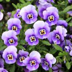 When To Plant Pansies In Oklahoma For Success