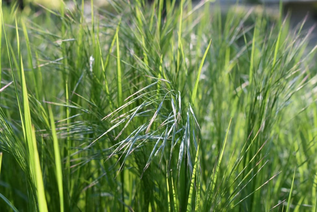 When To Plant Decorative Grasses Correctly