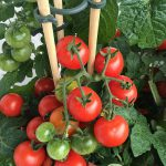 When To Plant Tomatoes In Kentucky For Success