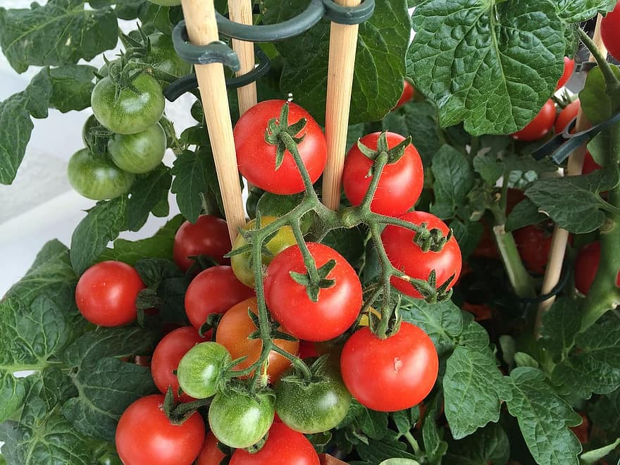 When To Plant Tomatoes In Kentucky