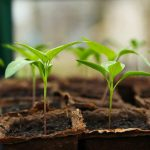 When Do I Remove Seedlings From Hobby Greenhouse