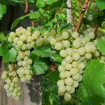 How To Grow Grapes In A Small Greenhouse