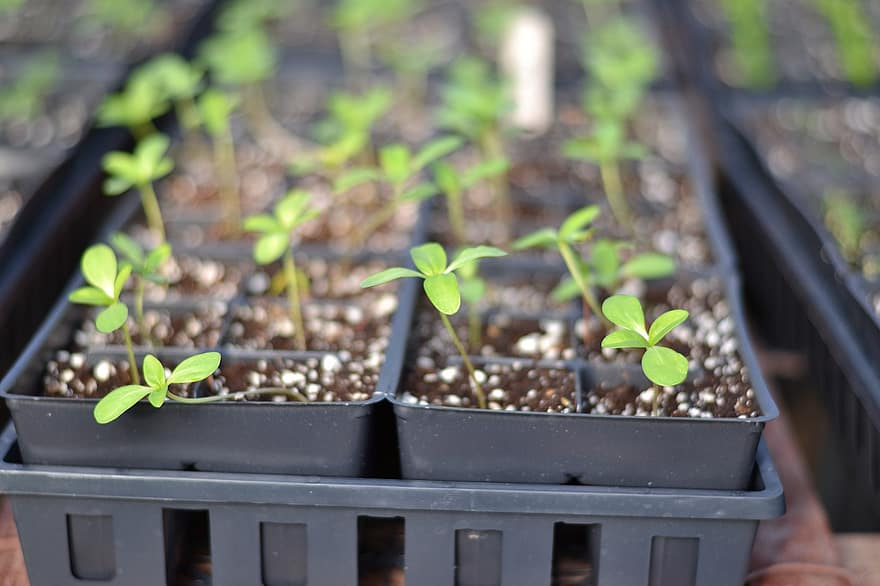When To Transplant Seedlings Hydroponics