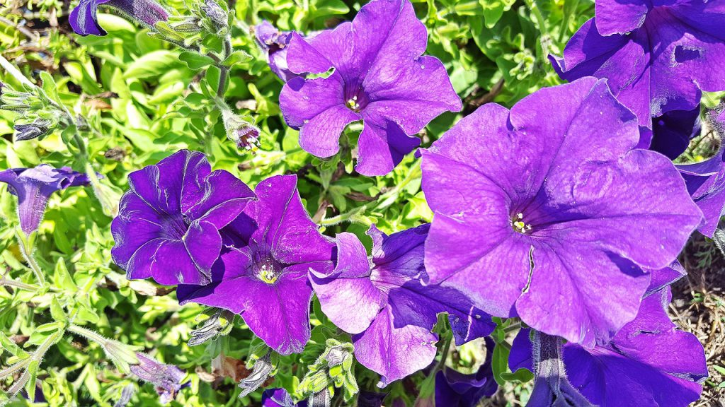 How To Revive Dying Petunias Successfully