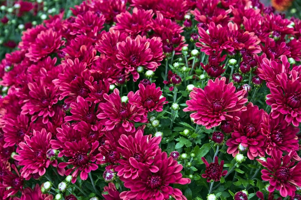 How To Keep Mums From Blooming Too Early