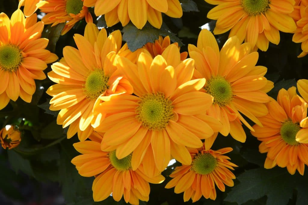 How To Root Mums. The Best And Easiest Way