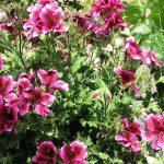 How To Care For Martha Washington Geraniums