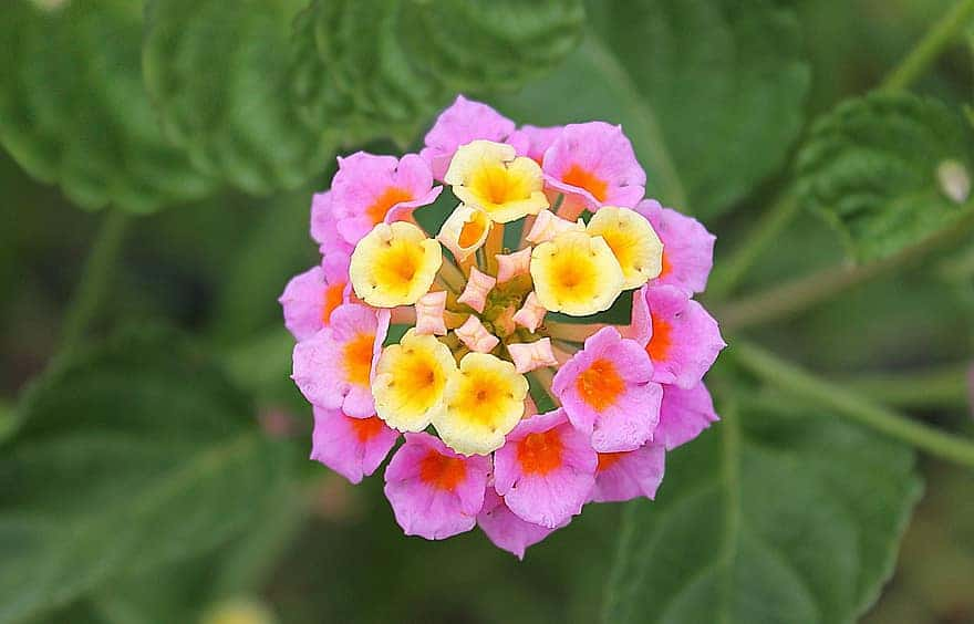 How To Root Lantana From Cuttings