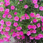 How To Propagate Petunias. The Best 2 Ways