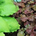 4 Best Plants That Go Well With Heuchera