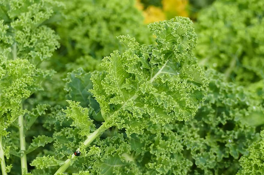 How to Plant Kale in a Greenhouse in Indiana
