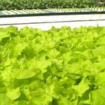 Grow Plants Successfully: When to Plant Lettuce in Texas