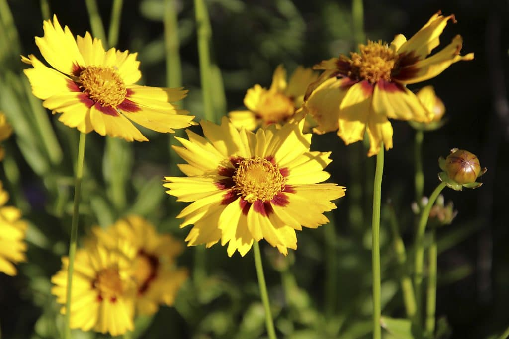 A Gardener's Guide on Where to Plant Coreopsis
