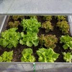What Are Good Things To Grow In A Small Greenhouse