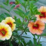 How To Collect Calibrachoa Seeds The Best Way