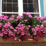 How To Grow Petunias From Cuttings The Best Way