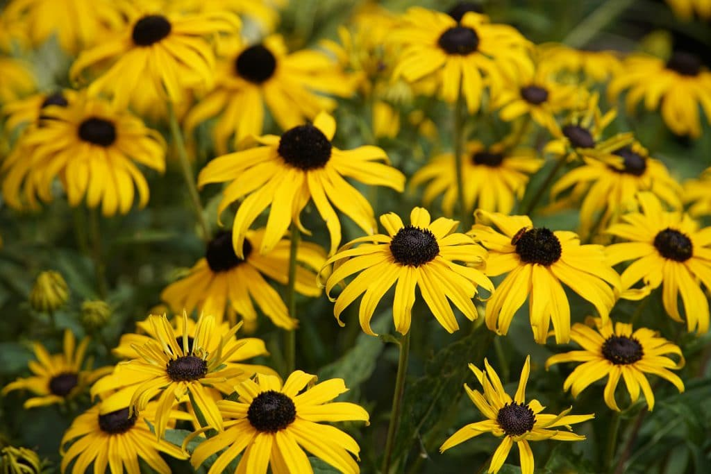 A Guide on How to Harvest Echinacea