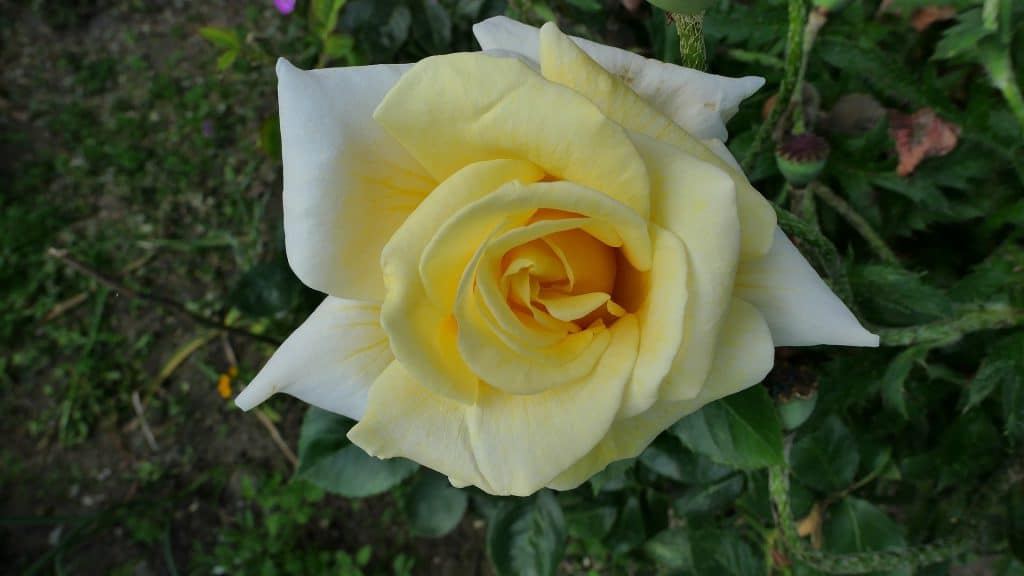 How to Propagate Knockout Roses in 3 Easy Steps
