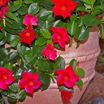 Step-by-Step Guide on How to Winterize Mandevilla Vines