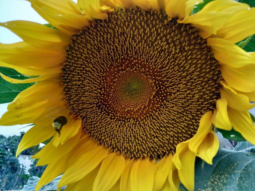 When Should Gardeners Transplant Sunflowers