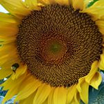 When Should Gardeners Transplant Sunflowers