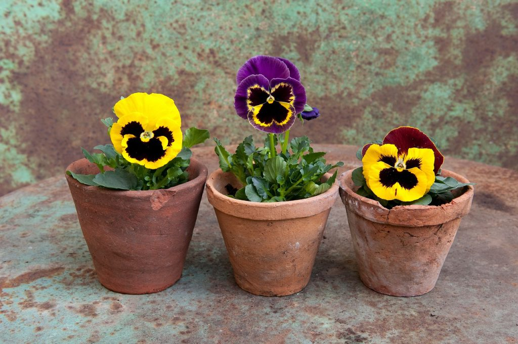 How To Grow Pansies In Pots