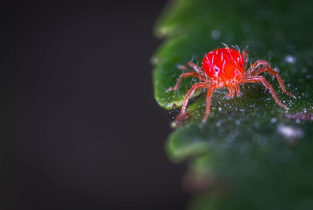 How To Get Rid Of SpHow To Get Rid Of Spider Mites On Drying Weedider Mites On Drying Weed