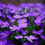 How To Propagate Verbena For Beginners