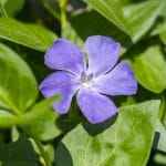 How To Propagate Vinca From Cuttings For Success