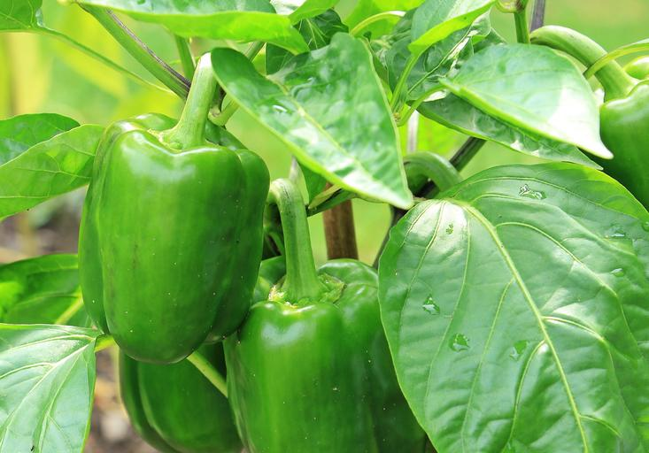 How to Cure Bacterial Leaf Spots on Peppers