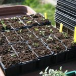 Growing Basil Seeds: When to Transplant Basil Seedlings