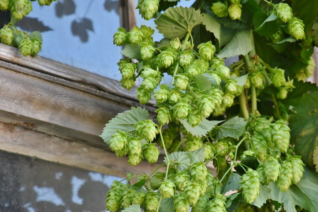 How to Grow Hops for Profit in 6 Easy Steps