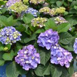 How to Prune Endless Summer Hydrangeas