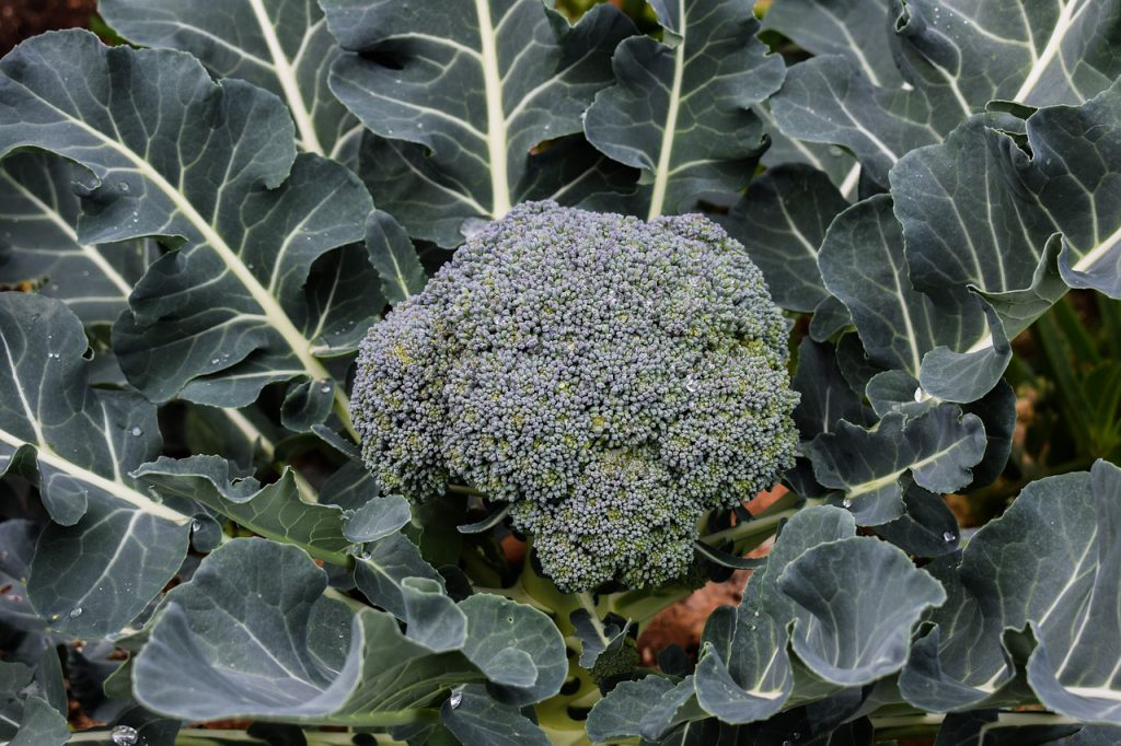 How To Grow Broccolini The Best Way