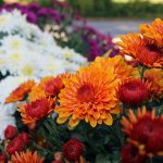 When To Transplant Hardy Mums For Success