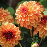 How To Fertilize Dahlias In 3 Easy Steps