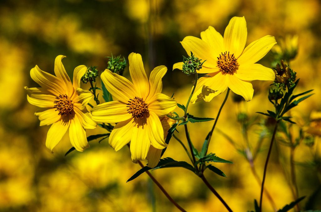 How To Propagate Coreopsis. 3 Best Ways