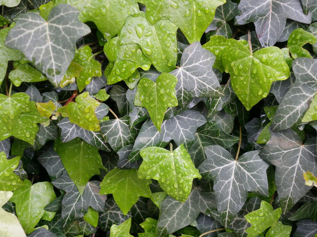 How To Treat Brown Spots On Ivy Leaves