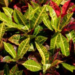 How to Propagate Croton in 2 Easy Ways