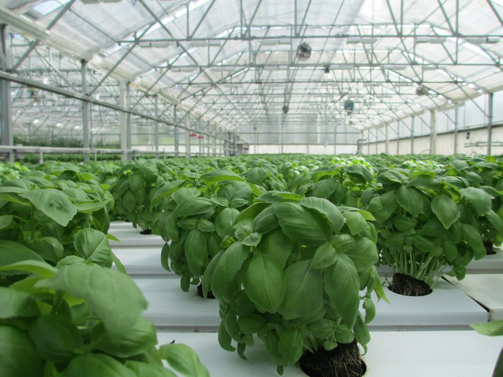 How To Grow Hydroponic Basil In 4 Easy Steps