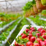 Where Are Strawberries Grown In The US