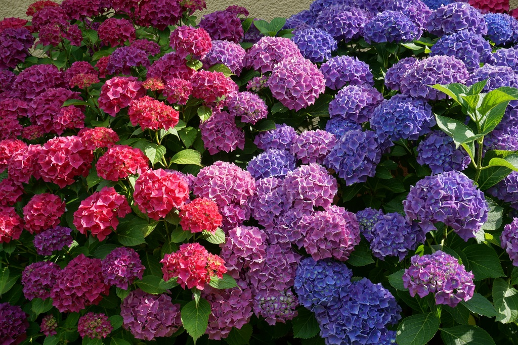 How To Care For Endless Summer Hydrangeas