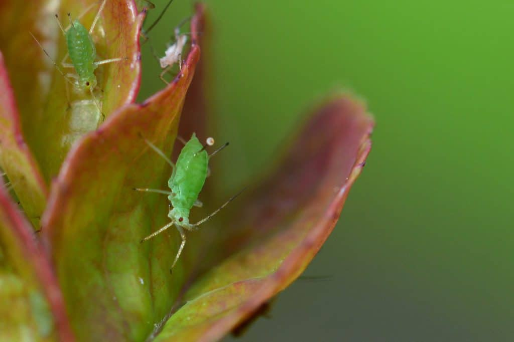 3 Ways On How To Get Rid Of Thrips On Houseplants