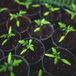 Knowing When to Put Seedlings Under Light