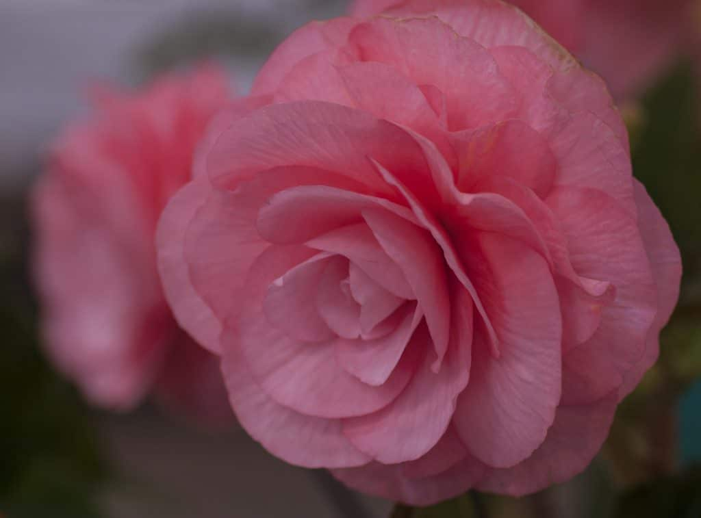 How To Grow Begonias From Seed Using 3 Easy Steps