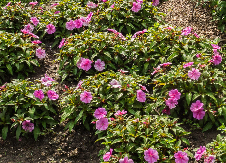 How To Plant Sunpatiens In 3 Easy Steps