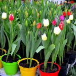 How to Care for Potted Tulips in 4 Easy Steps