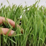 How To Grow Wheatgrass Hydroponically For Success